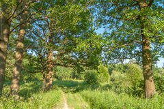 The path through the oak trees, summer forest Royalty Free Stock Image