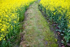 Path through oilseed blossom Royalty Free Stock Images