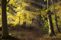 Path in the old forest with beech trees, sunbeams shining throug Stock Image