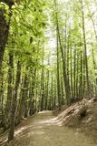 Path in an old green forest of chestnut trees. In summer Stock Photo