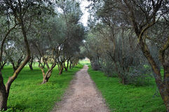 Path among olive trees. Nature rural landscape stock photo