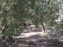 Path between olive trees Royalty Free Stock Photos