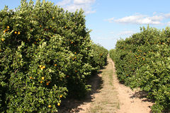 Path Through Orange Grove Royalty Free Stock Photos
