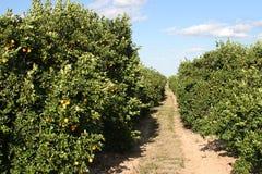 Path Through Orange Grove. A path through a florida orange grove with ripe oranges on the trees Royalty Free Stock Photos