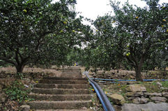 Path Through Orange Grove Royalty Free Stock Image