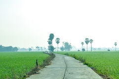 Path in paddy field with sugar palm tree in the mist Royalty Free Stock Images
