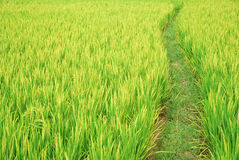Path in the paddy fields. In summer Royalty Free Stock Photography