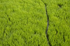 Path Between of paddy Plant in the Field stock images