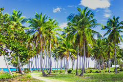 Path through a palm tree forest in Dominican Republic Royalty Free Stock Photo
