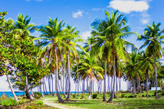 Path through a palm tree forest in Dominican Republic Royalty Free Stock Photos