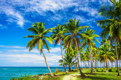 Path through a palm tree forest in Dominican Republic Royalty Free Stock Image