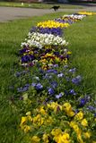 A path of pansies in the grass Royalty Free Stock Images