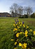 A path of pansies in the grass Stock Images