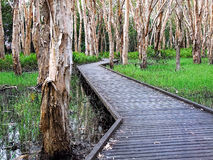 Path in paperbark swamp. Wooden boardwalk in melaleuca swamp in tropical North Queensland Royalty Free Stock Images