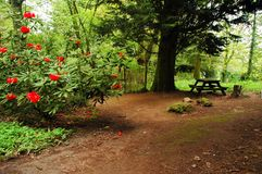 Path in park. A path in cardiff park bench trees and big rhododendron blooms stock photo