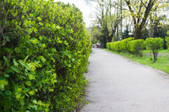 Path in the park on the background of the cotoneaster. A path in the park on the background of a hedge from the cotoneaster Royalty Free Stock Images