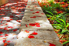 A path in the park. On the ground flowers of Delonix regia, Poinciana, peacock flower Royalty Free Stock Images