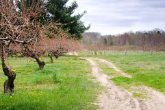 Path through peach orchard Royalty Free Stock Photography