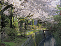 Path of Philosophy under Cherry Blossoms. Cherry trees in bloom over canal and path with bridge royalty free stock photos