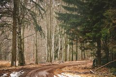 Path in pine forest. Dirt road in pine forest stock images