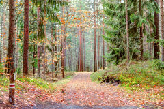 Path in the pine forest. Autumn season Royalty Free Stock Image