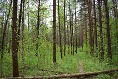 The path in the pine forest through the clouds breaks sunlight on the crowns of trees. In the coniferous forest. And there is no end to pine forests royalty free stock photo
