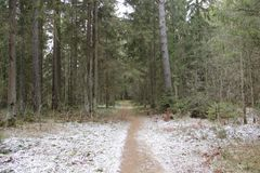 A path in a Pine forest. Early spring stock photos