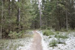 A path in a Pine forest. Early spring stock photo