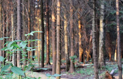 Path through a pine forest, lit by the setting sun Royalty Free Stock Photo