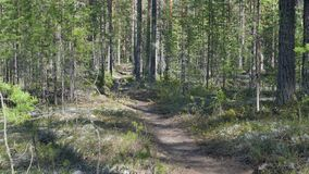 Path at the pine forest. At meander stock footage