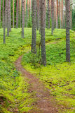 Path in a pine forest Stock Image