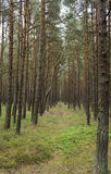Path in a pine forest Stock Photo