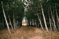 Pine forest. Path on the pine forest royalty free stock image