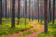 Path through pine forest. Pine forest in fall, nature landscape Stock Photos