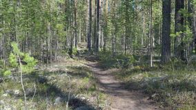 Path at the pine forest. At reserve stock video