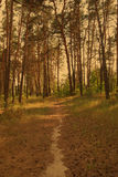 Path through a pine forest Stock Image