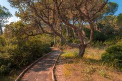 Path in pine forest. In a sunny morning of spring, green, nature, wood, scene, tree, environment, natural, park, sunlight, plant, trees, scenic royalty free stock photos