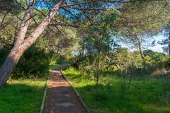 Path in pine forest. In a sunny morning of spring, green, nature, wood, scene, tree, environment, natural, park, sunlight, plant, trees, scenic stock image