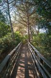 Path in pine forest. In a sunny morning of spring, green, nature, wood, scene, tree, environment, natural, park, sunlight, plant, trees, scenic stock photography