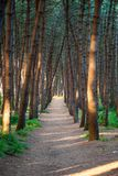 The path in the pine forest stock photo