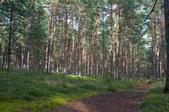 Path in pine grove Royalty Free Stock Photography