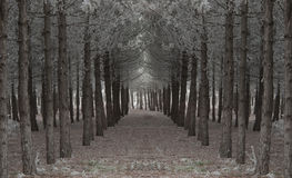 Path in pine tree forest Stock Image