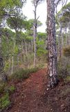 Path with pine trees Stock Photos