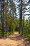 Path through pine trees in forest Stock Photo
