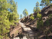 Path through pine trees on Gran Canaria Stock Photos
