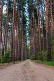 Path through pine-trees low point of view Royalty Free Stock Photos