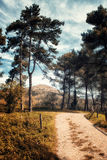 path among the pines Stock Images