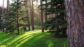 Path between pines in park stock video footage