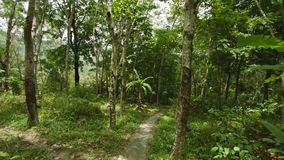 Path through the plantation of rubber trees. Thailand, Phuket island. POV stock video footage