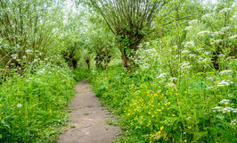 Path between pollard willow trees in springtime. Idyllic path between budding willow trees with fresh young leaves. It`s springtime, it smells spicy and the Stock Image